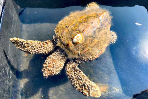Salvata una tartaruga marina nel porto di Ancona