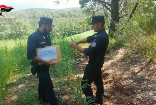 Canapa, Carabinieri e Politecnica delle Marche insieme per la ricerca