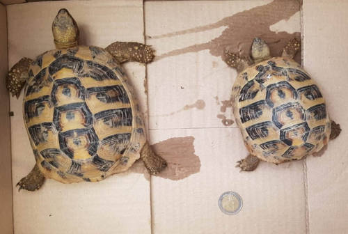 Ancona, sbarcano al porto con due tartarughe in una busta: denunciati