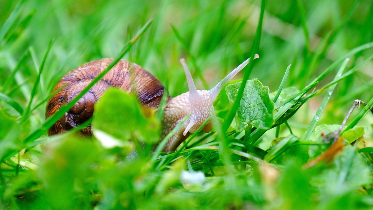 chiocciole, lumache, snail, allevamento, elicicoltura