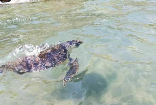 Pesaro, liberata la Caretta caretta Faustina. Baia Flaminia è la spiaggia delle tartarughe