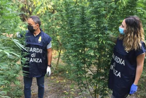 Corridonia, sequestrata una piantagione di marijuana: nei guai un pensionato 69enne