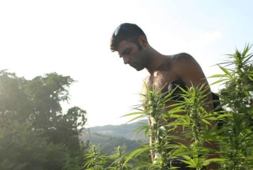 Cannabis Light come stupefacente, parola al coltivatore Alessandro Ricciotti