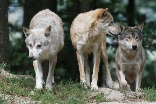 Pesaro, lupo urtato da un'auto in transito in zona Siligate