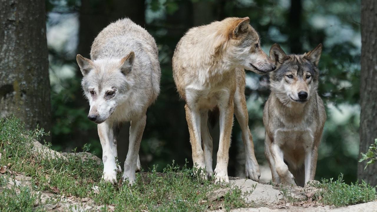 lupi, animali selvatici, attacchi