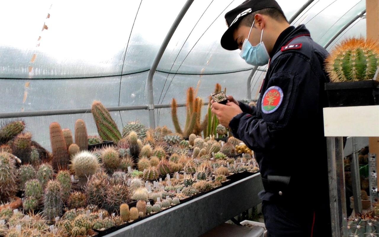 Sotto sequestro da parte dei carabinieri forestali cactus e piante rare trovate a Morciano di Romagna e Senigallia