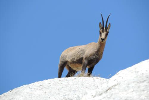 Dai lupi Paola e Artù a trote e camosci: come stanno gli animali dei Sibillini?