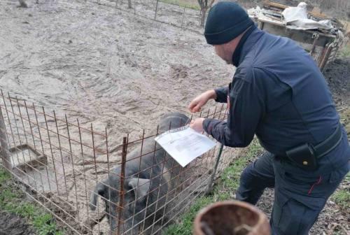 Fiuminata. Allevamento di suini irregolare, sequestrati 11 animali, maxi multa per il proprietario