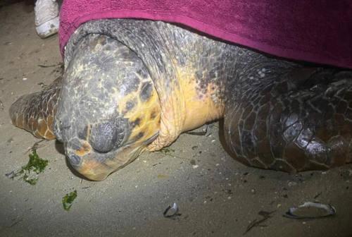 Pesaro, esemplare di tartaruga Caretta caretta di 60 kg tratta in salvo