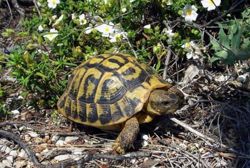 Un terrario di 60 tartarughe nel giardino, ma 10 sono illegali: denunciata una jesina