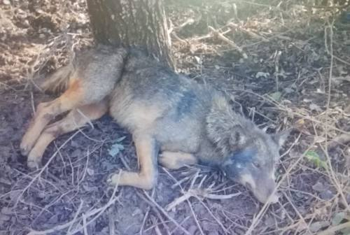 Ancora in cura il lupo salvato a Sant'Angelo in Pontano. E partono le indagini dei Forestali