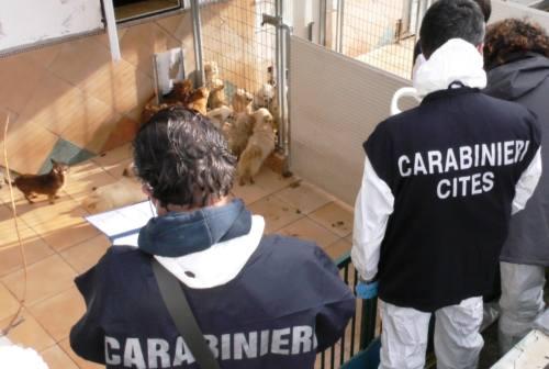 Trecastelli: sequestrato un allevamento-lager. Salvati 859 cani di piccola taglia