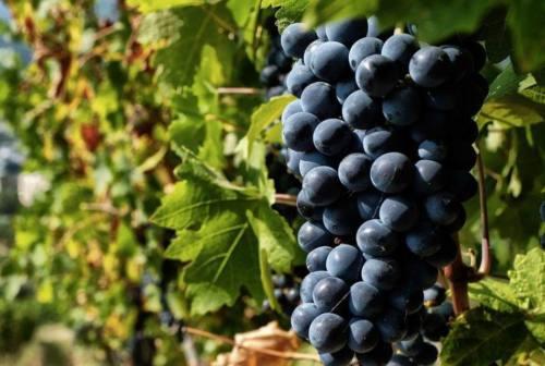 Nel Piceno il covid favorisce la riscoperta dei vini locali e a km zero