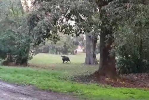 Cinghiali al parco, allarme ad Ancona