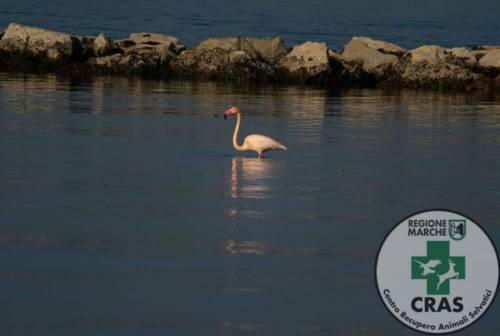 Pesaro, un fenicottero sul litorale. Il Cras: «Non avvicinatelo»