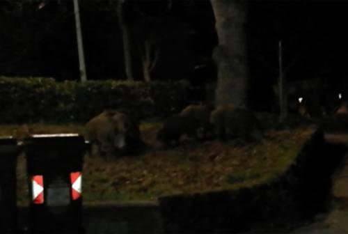 Ancona, altro avvistamento di cinghiali a Posatora. Lac Marche invita a non allarmarsi