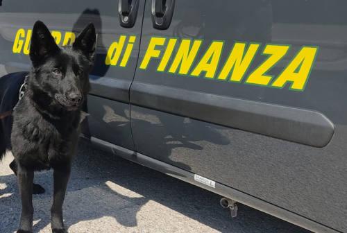 Civitanova, contro lo spaccio il cane Hanima. Da gennaio 24 operazioni antidroga delle Fiamme Gialle