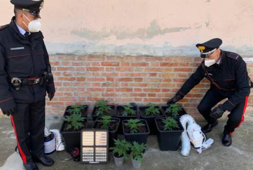 Colli al Metauro, coltivava marijuana nella camera da letto e nel garage: arrestata 40enne – FOTO