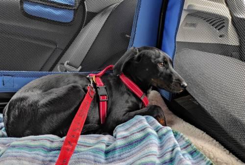 Pesaro, tam tam sui social per trovare il cane Eva scomparso da giorni