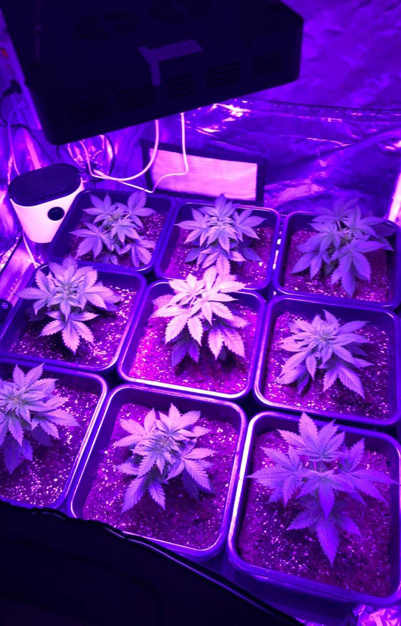 marijuana nella sua camera da letto e nel garage