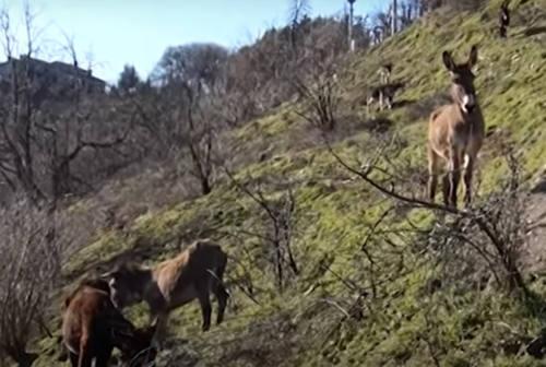 Sant'Angelo in Vado, arrivano i lupi in un'azienda agricola: sbranato un asinello