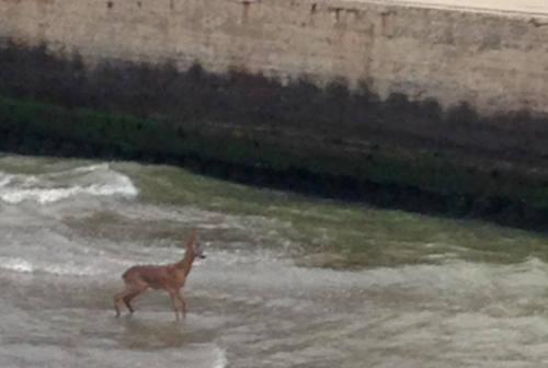Capriolo percorre il fiume Misa fino alla foce: recuperato dai Vigili del Fuoco
