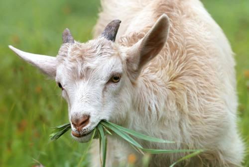 Mondolfo, branco di cani selvaggi sbrana sette capre