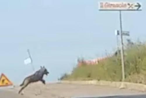 Avvistato un lupo nel centro abitato di Marina di Montemarciano