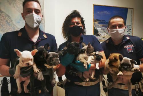 Fano, sequestrati cuccioli con passaporto canino falso: conducente denunciato