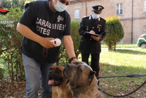 Cani maltrattati e mutilati, certificazioni veterinarie false: 40 persone denunciate