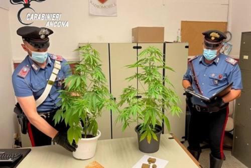 Jesi: piante di marijuana e hashish in casa, denunciato un 20enne