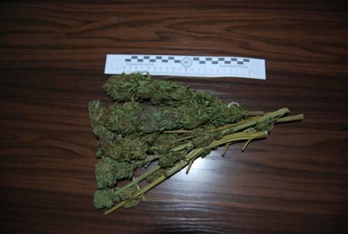 Coltivava marijuana nell'orto di casa, 40enne denunciato a Fabriano