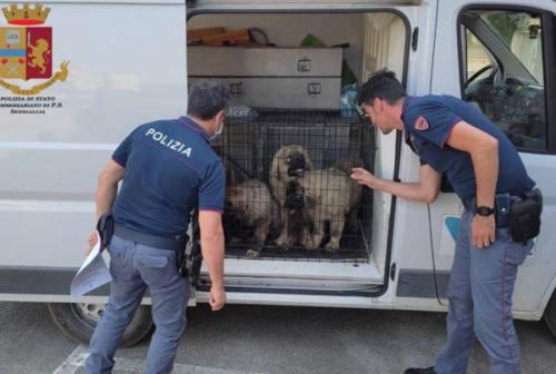 Traffico internazionale di cani, furgone bloccato sulla complanare di Senigallia
