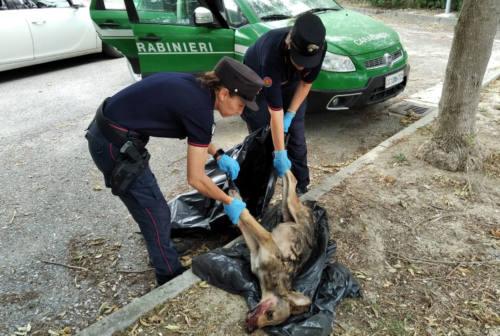 Parco del Conero, investiti e uccisi un cucciolo di lupo e due cuccioli di cinghiali
