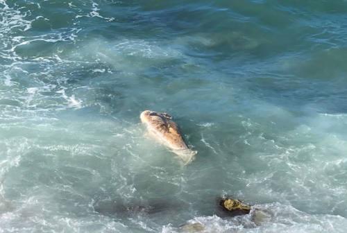 Ancona, delfino morto portato dal mare: folla a Portonovo per fotografarlo – FOTO