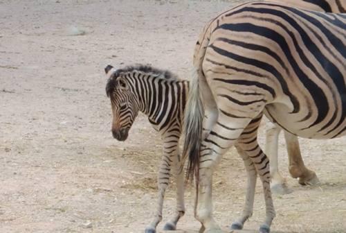 Falconara, il Parco Zoo omaggia Tamberi: il primo nato del dopo Olimpiadi è la zebra Gimbo