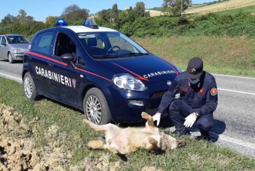 Investito lupo ad Ancona: recuperata la carcassa. Forestali: «Prendere coscienza della presenza di questo predatore»