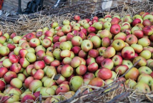 A Montedinove è tempo di mele rosa. Stand e prodotti tipici per la tappa del Grand Tuor delle Marche